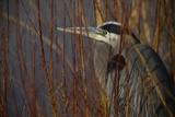 Portrait of a Blue Heron at a Pond