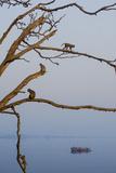 Rhesus Monkeys  Macaca Mulatta  in a Tree on a Bank of the Yamuna River
