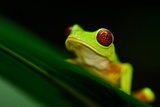 A Red-eyed Tree Frog (Agalychnis Callidryas) Perches on a Leaf