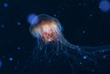 A Lion's Mane Jellyfish Drifts in the Current