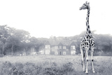 A Rothschild Giraffe in Front of Giraffe Manor on a Misty Morning