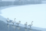 Five Trumpeter Swans Along the Yellowstone RIver in a Winter Snowstorm