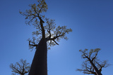 Baobab Trees Backlit by the Sun in Baobab Alley Near Morondava