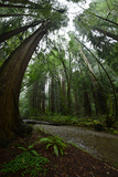 Ferns Line a Path Under a Tree Canopy in Muir Woods National Monument