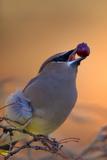 A Cedar Waxwing  Bombycilla Cedrorum  Eating a Berry