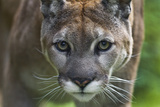 Portrait of a Female Cougar  Felis Concolor