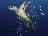A Hawksbill Sea Turtle, Eretmochelys Imbricata, with Bait Fish Papier Photo par Jim Abernethy