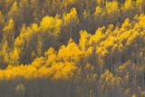 Aspen Trees with Blazing Yellow Leaves in Autumn