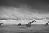 Giraffes Move Across the Plains of Laikipia  Kenya