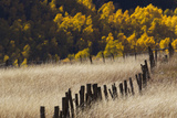 Tall Grasses in a Fenced Field with Golden Aspen Trees in the Distance
