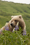 Wild Lupine Flowers Frame a Portrait of a Brown Bear