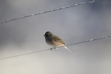 An Dark-eyed Junco  Junco Hyemalis  Sitting on An Icy Power Line