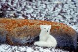 An Arctic Fox Sitting Against a Lichen Covered Rock Near Hudson Bay