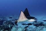 A Spotted Eagle Ray  Aetobatus Narinari  Swimming Over a Reef