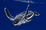 A Baby Leatherback Sea Turtle  Dermochelys Coriacea  in Blue Water