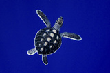 A Baby Green Sea Turtle  Chelonia Mydas  Swimming