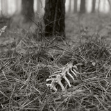White-tailed Deer Bones Nestled in Pine Needles in a Foggy Forest