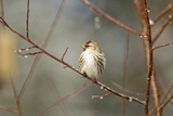 A Common Redpoll Perches on a Twig Ornamented with Dew Drops