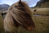 Portrait of An Icelandic Horse in a Pasture