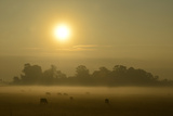 A Backlit View of Grazing Cattle in Fog