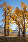 Backlit View of Cottonwood Trees with Autumn Foliage
