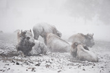 Bison Resting in a Snowstorm