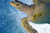 A Critically Endangered Hawksbill Turtle