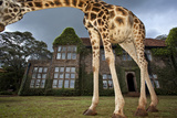 A Rothschild Giraffe Frames Giraffe Manor with Its Neck