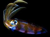 Close Up of a Caribbean Reef Squid  Sepioteuthis Sepioidea