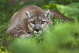 Portrait of a Male Cougar  Felis Concolor  Stalking