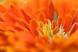 Extreme Close Up of An Orange Chrysanthemum Flower