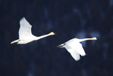 Two Trumpeter Swans  Cygnus Buccinator  in Flight