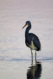 Portrait of a Tricolored Heron  Egretta Tricolor  Walking in Water