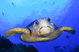 Close Up Portrait of a Loggerhead Sea Turtle  Caretta Caretta
