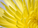 Close Up of the Petals of a Yellow Chrysanthemum Flower Papier Photo par Vickie Lewis