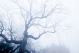 Skeletal Oak Tree Branches  Quercus Species  in Heavy Fog