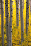 Sunlight on Golden Aspen Tree Branches Among Larger Tree Trunks