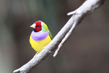 A Gouldian Finch Sits on a Tree Branch