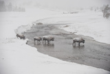 Bison Crossing the Firehole River in a Snowstorm