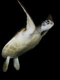 A Green Sea Turtle  Chelonia Mydas  Swimming at Night