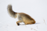 A Red Fox  Vulpes Vulpes  Head First in the Snow to Catch a Rodent