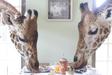 Two Giraffes Have Breakfast at Giraffe Manor in Nairobi  Kenya