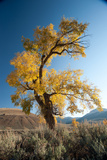 A Cottonwood Tree in Fall Colors Against a Blue Sky