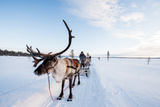 A Reindeer Puling a Sled in Swedish Lapland