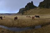 Icelandic Horses in a Pasture