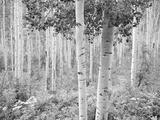 An Aspen Grove Adjacent to Highway 82  Eight Miles East of Aspen