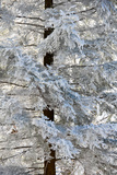 Rime Ice Coats An Eastern Hemlock Tree