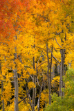 Aspen Trees in Bright Autumn Colors