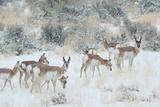 Pronghorns  Antilocapra Americana  Foraging During a Snowstorm