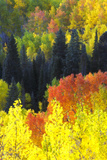 Evergreen Trees  Aspens  and Others in Brilliant Autumn Hues